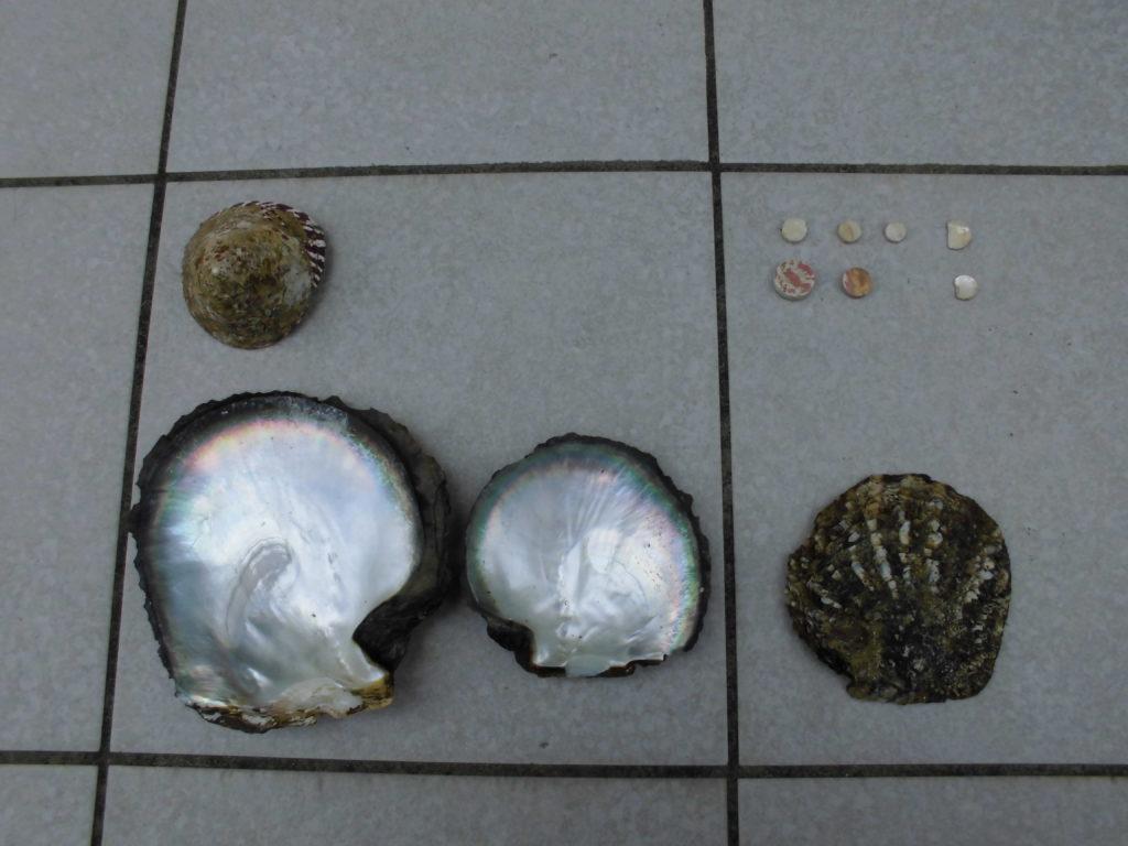 貝ボタンで使われる原貝