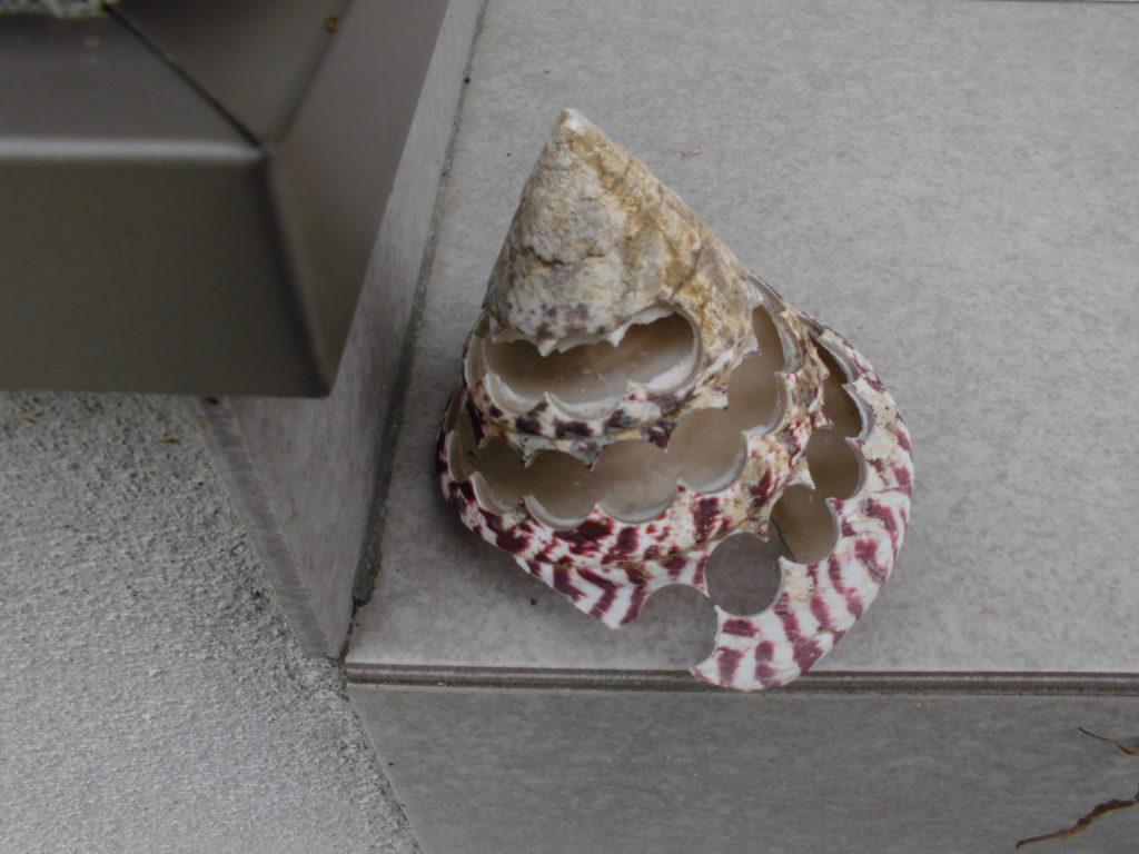 穴を開けた後の巻き貝